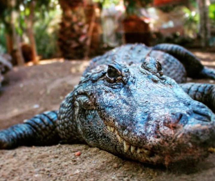 crocodile park gran canaria free bus